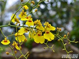 A yellow spray: Oncidium