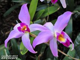 Laelia with beatiful colour shades